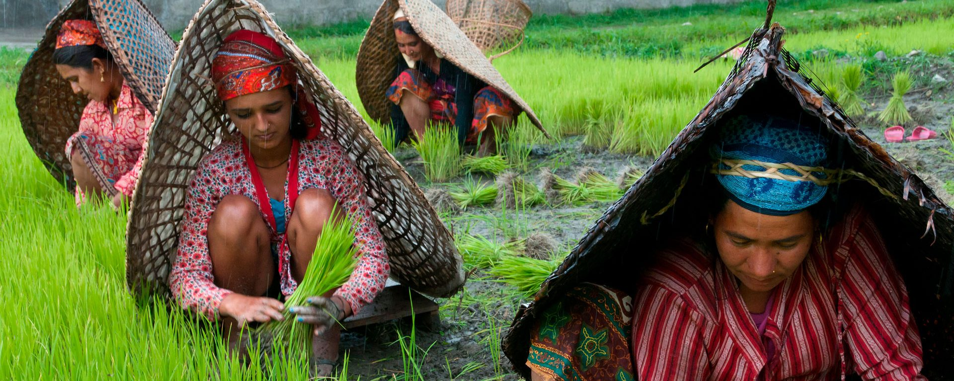Female farmers at work in rice nursery, with rain protection, Pokhara, Nepal