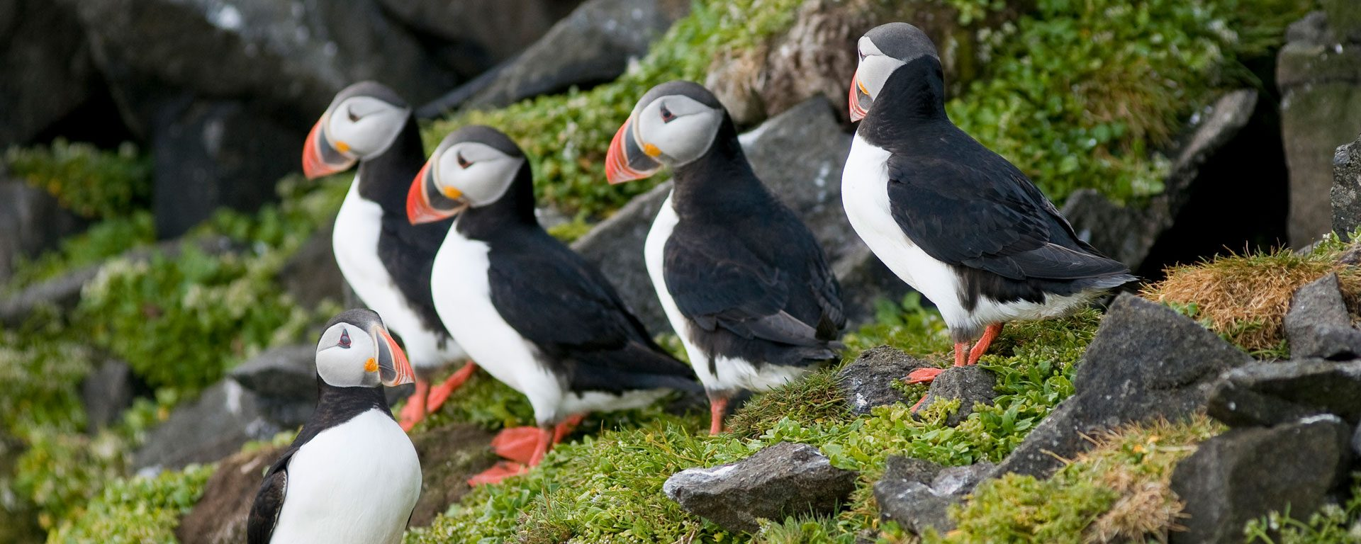 Adult puffins perched on a cliff in Norway's Svalbard Archipelago