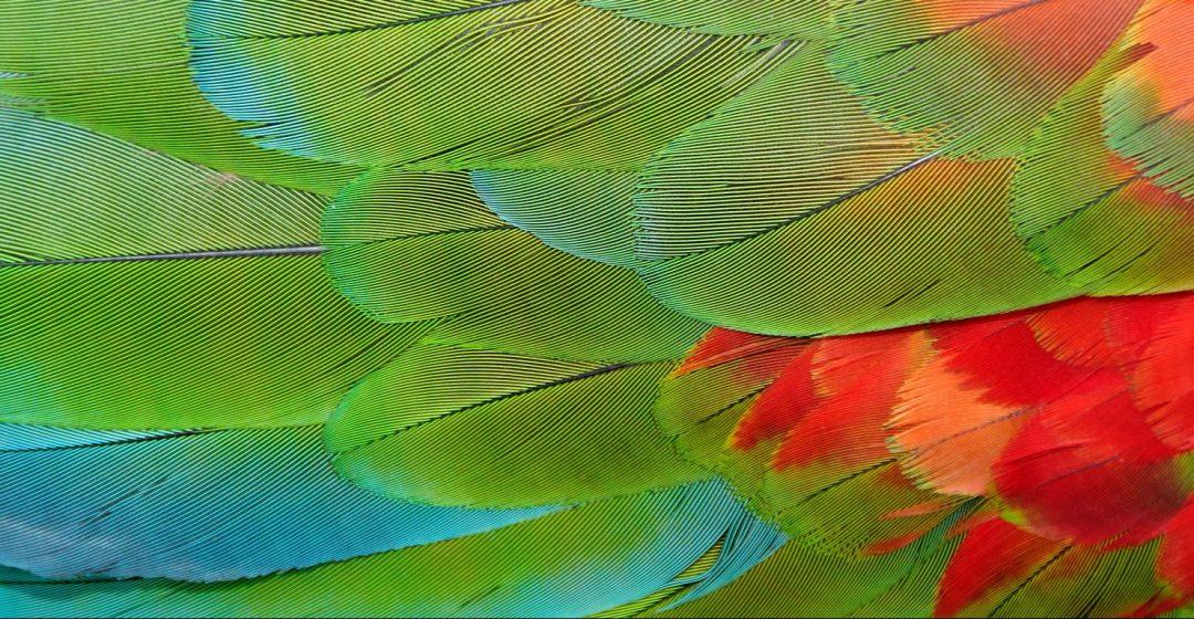 Parrot feathers at Bocas del Toro near Isla Colon, Panama