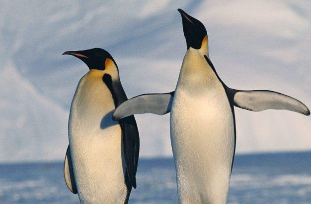 Antarctica, Emperor Penguins standing in winter