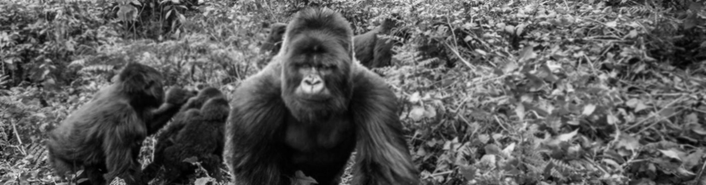 Silverback leads a group of mountain gorillas in Volcanoes National Park, Rwanda