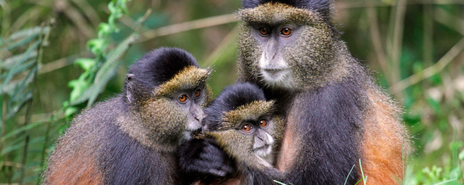 Golden monkey family in a bamboo forest in Volcanoes National Park, Rwanda