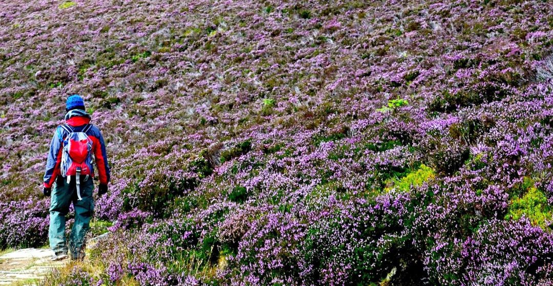 Man hiking through field of flowers in the Cairngorms, Scotland