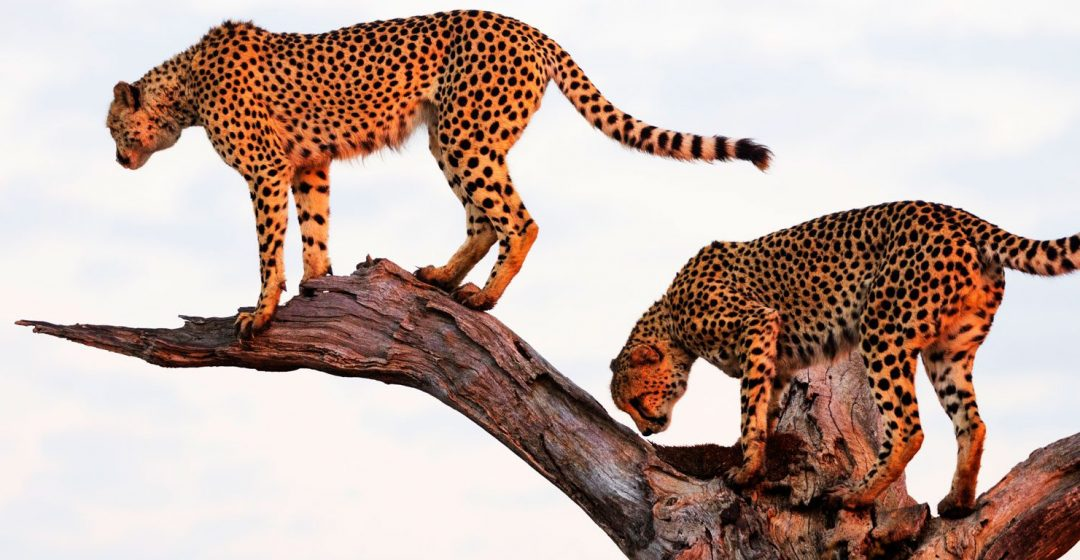 Two cheetahs perched on a tree in Kruger National Park, South Africa