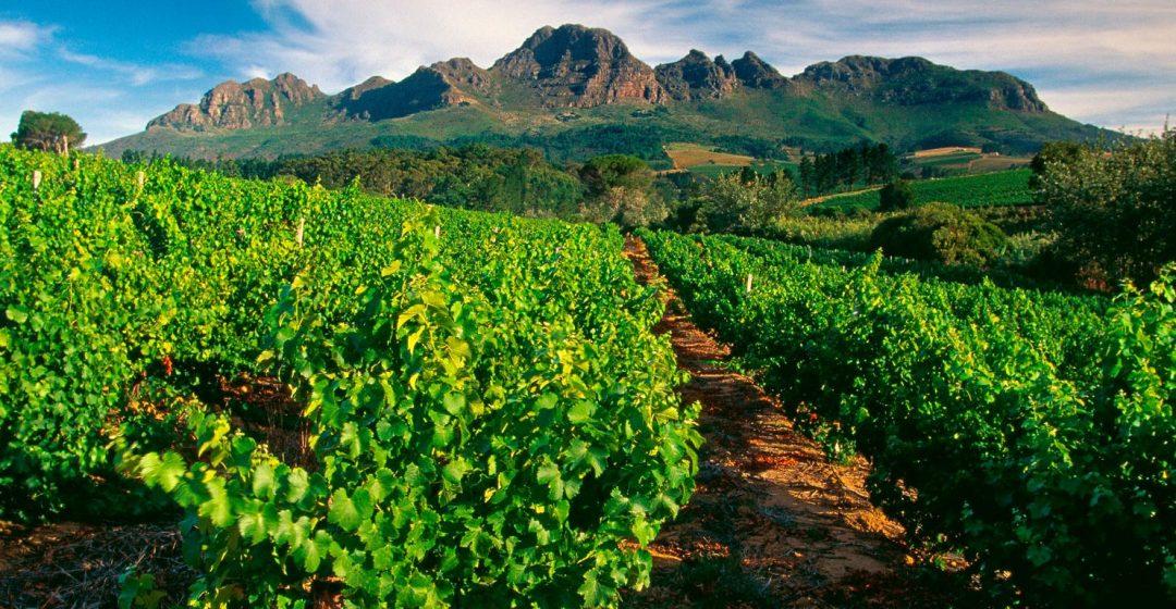 Vineyard near Stellenbosch, South Africa