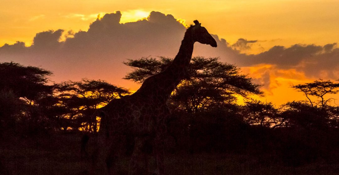 Silhouette of Maasai giraffe and acacia trees near Ngorongoro, Tanzania