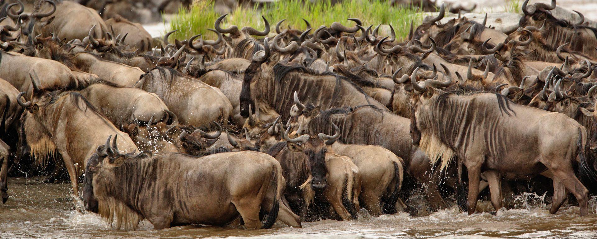 Wildebeest herd in the Serengeti, Tanzania
