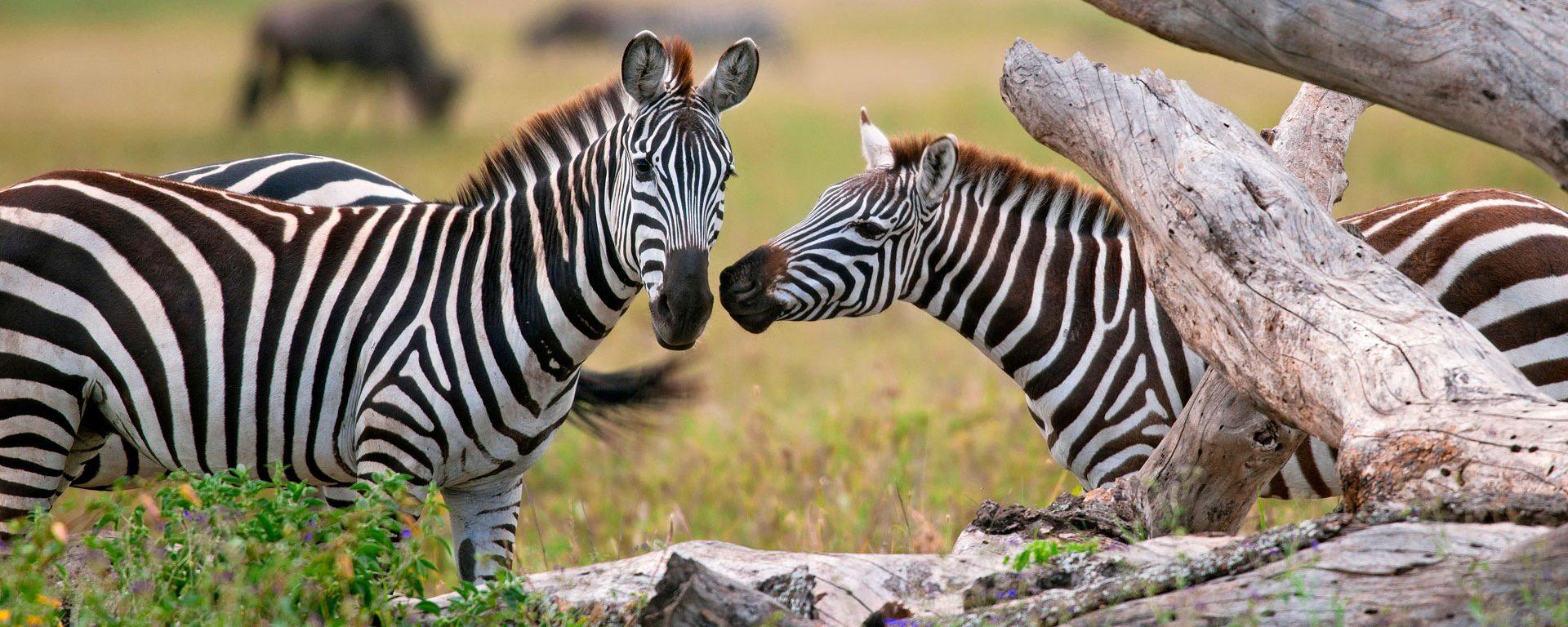 Pair of zebras in the Serengeti, Tanzania