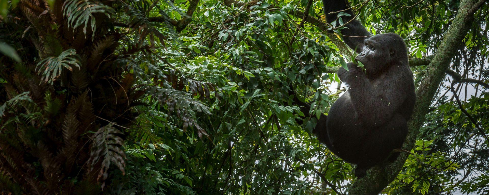 Mountain gorilla in tree in Bwindi Impenetrable Forest, Uganda