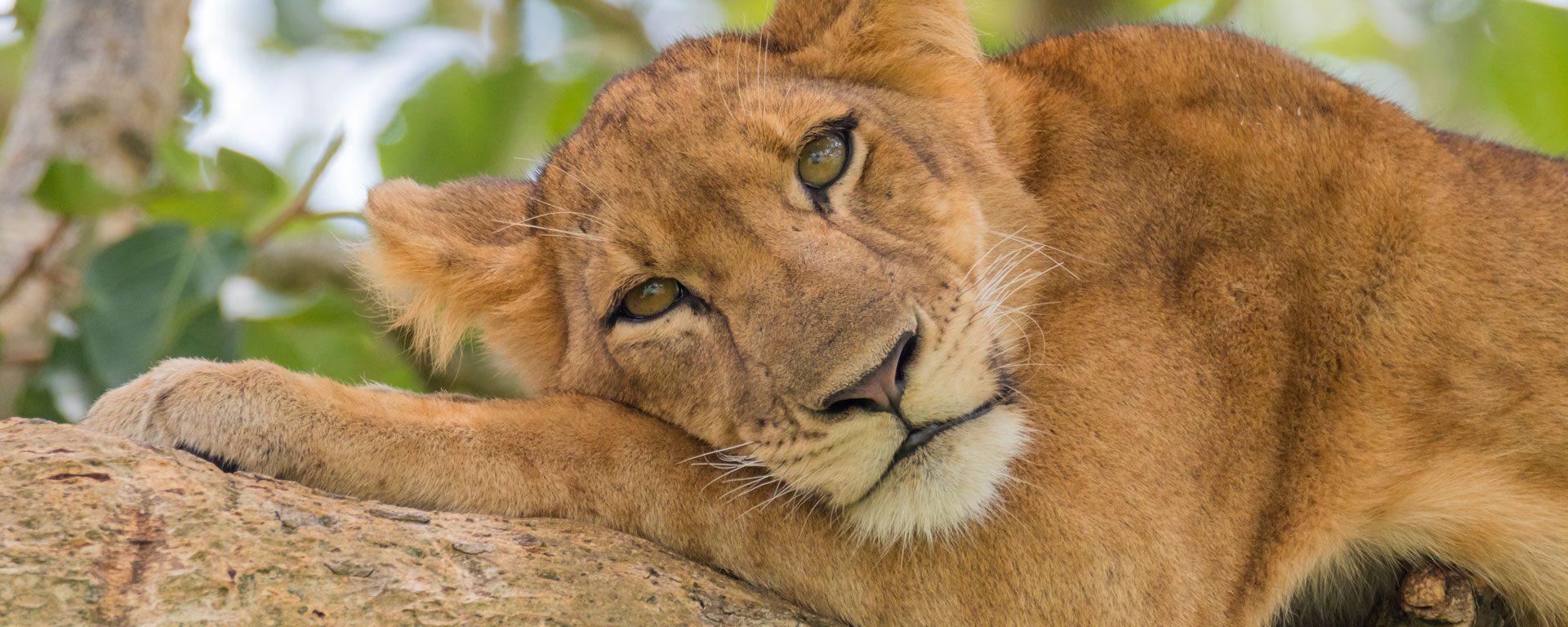 Lion resting in tree in Ishasha, Uganda