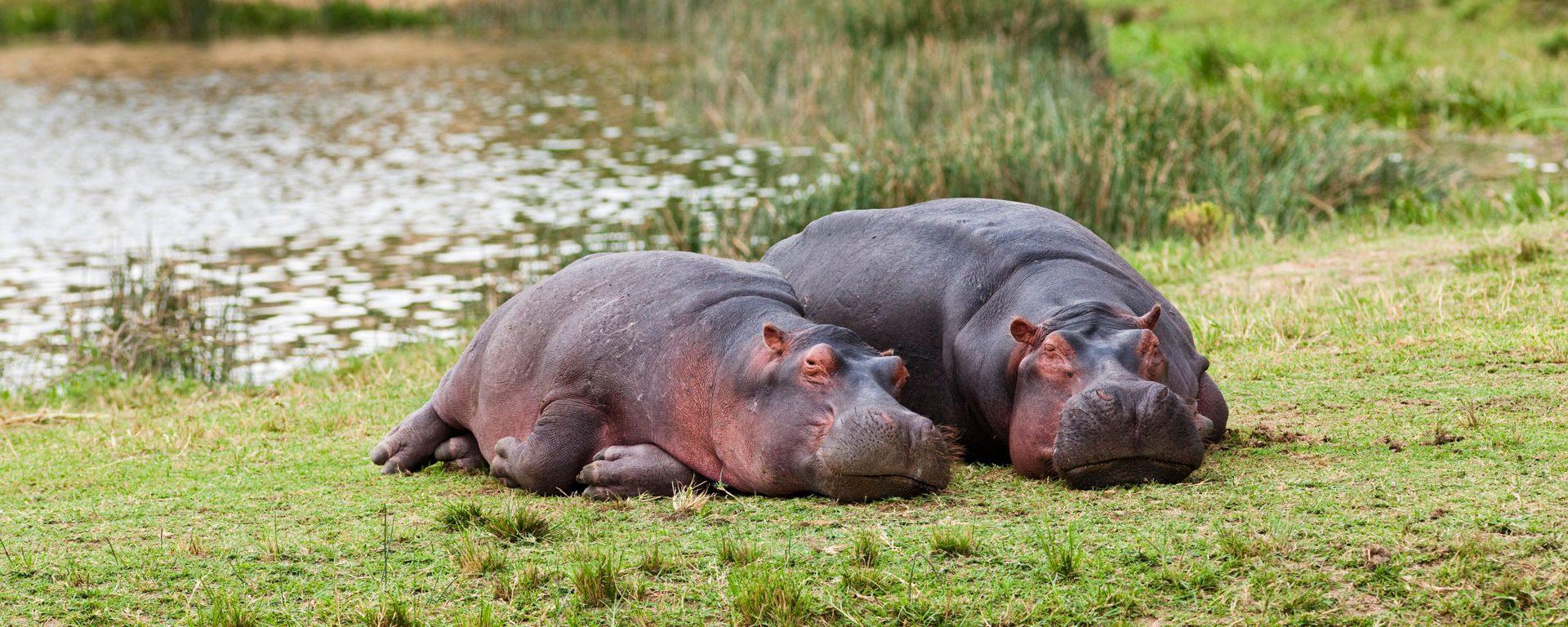 Hippopotamus laying on the shore, Queen Elizabeth National Park, Uganda