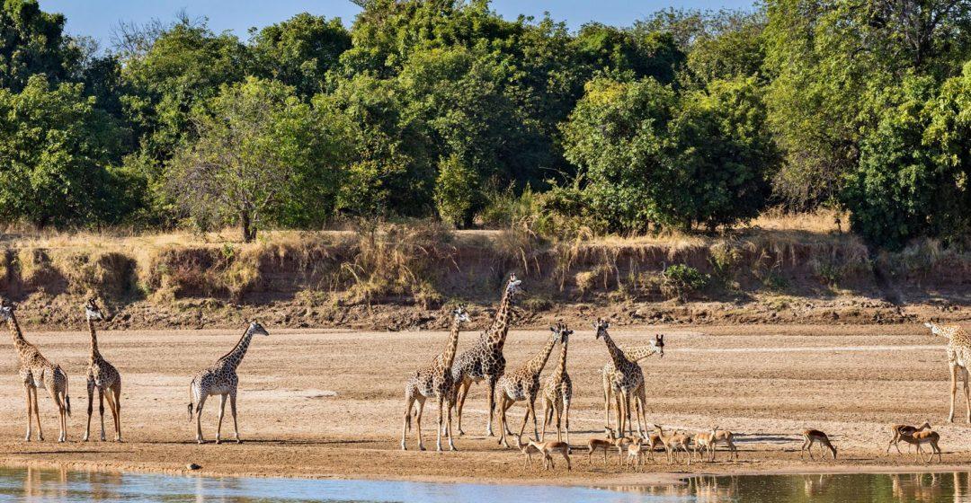 Thornicroft giraffes and impalas beside the Luangwa River, Zambia
