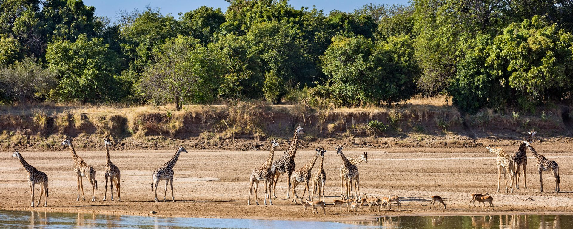 Thornicroft giraffes and impalas beside the Luangwa River, Zambia