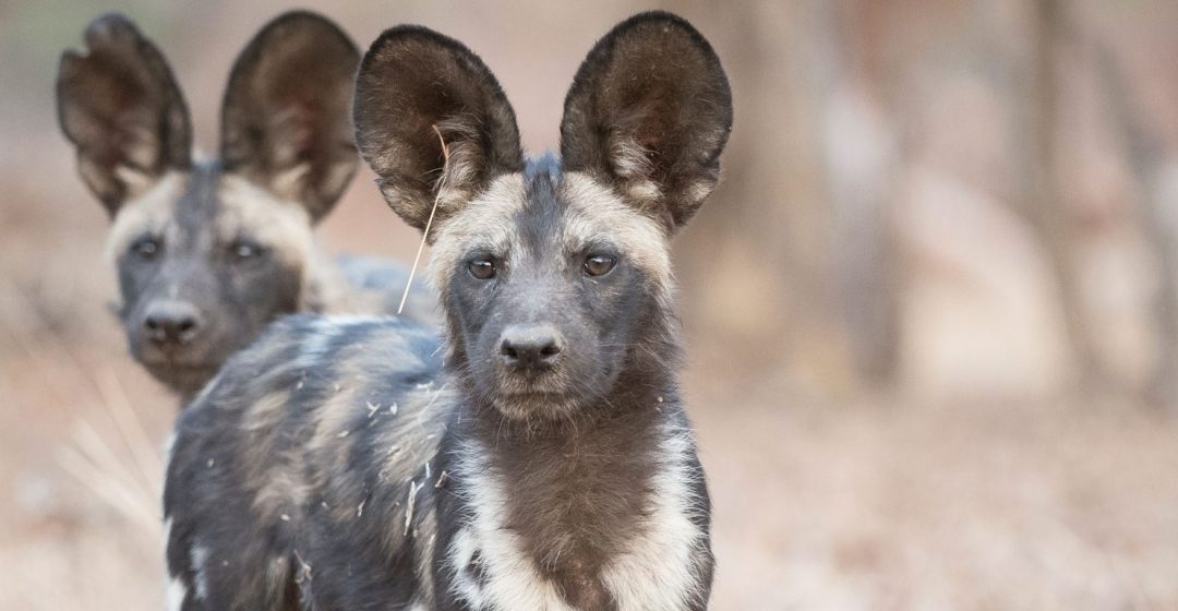 Wild dogs in Mana Pools National Park, Zimbabwe