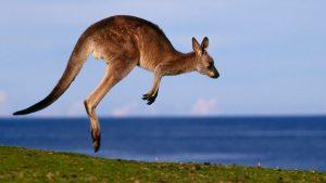 Eastern gray kangaroo jumping, Australia