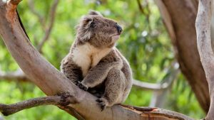 Koala in a tree, Australia
