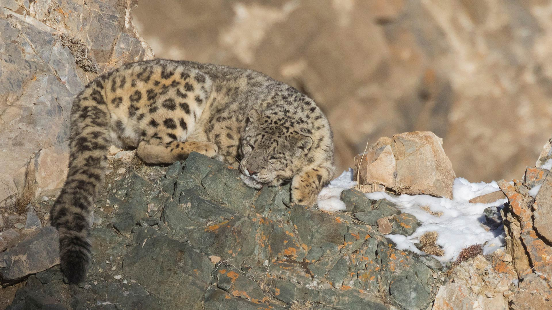 Snow leopard on rocks in the Altai Mountains, Mongolia