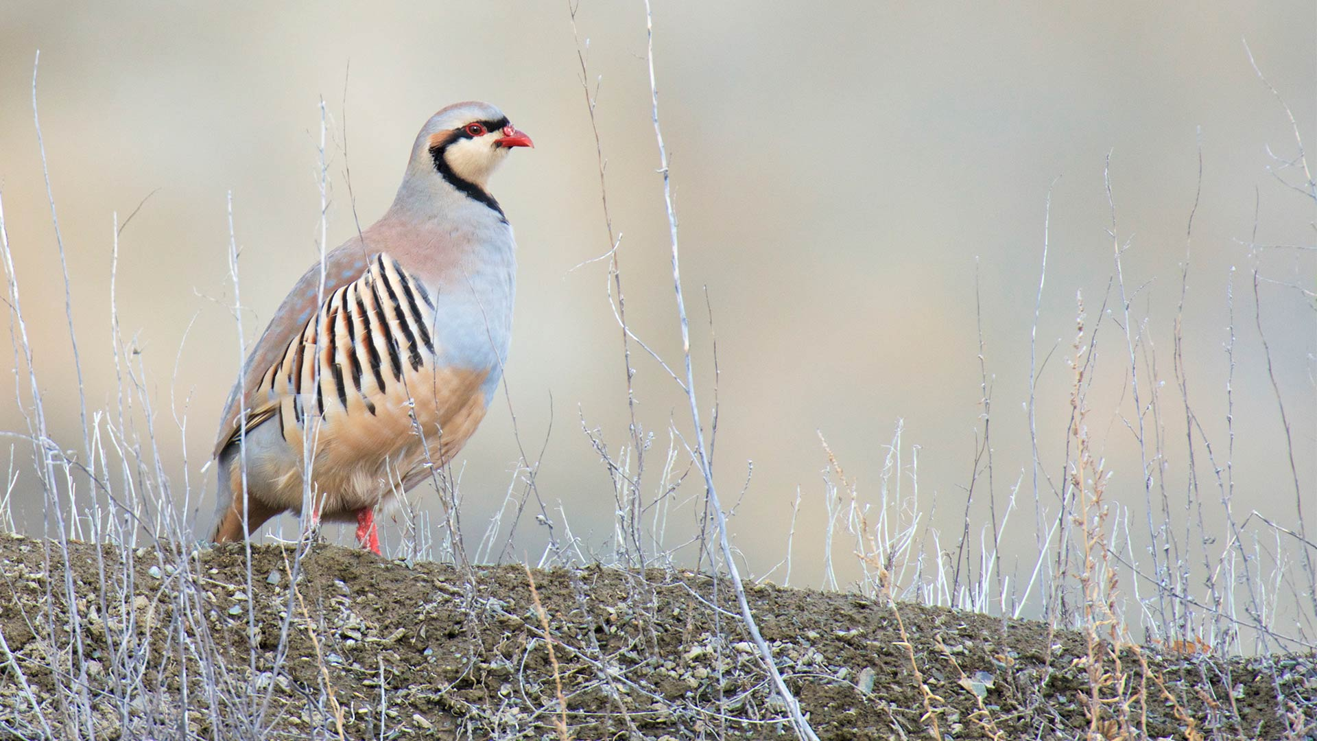 Chukar partridge in Mongolia