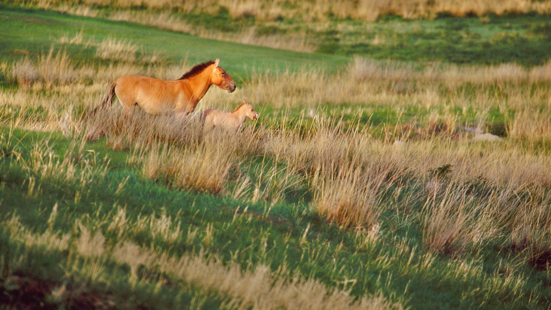 Takhi mare with newborn foal in Khustain Nuruu National Park, Mongolia