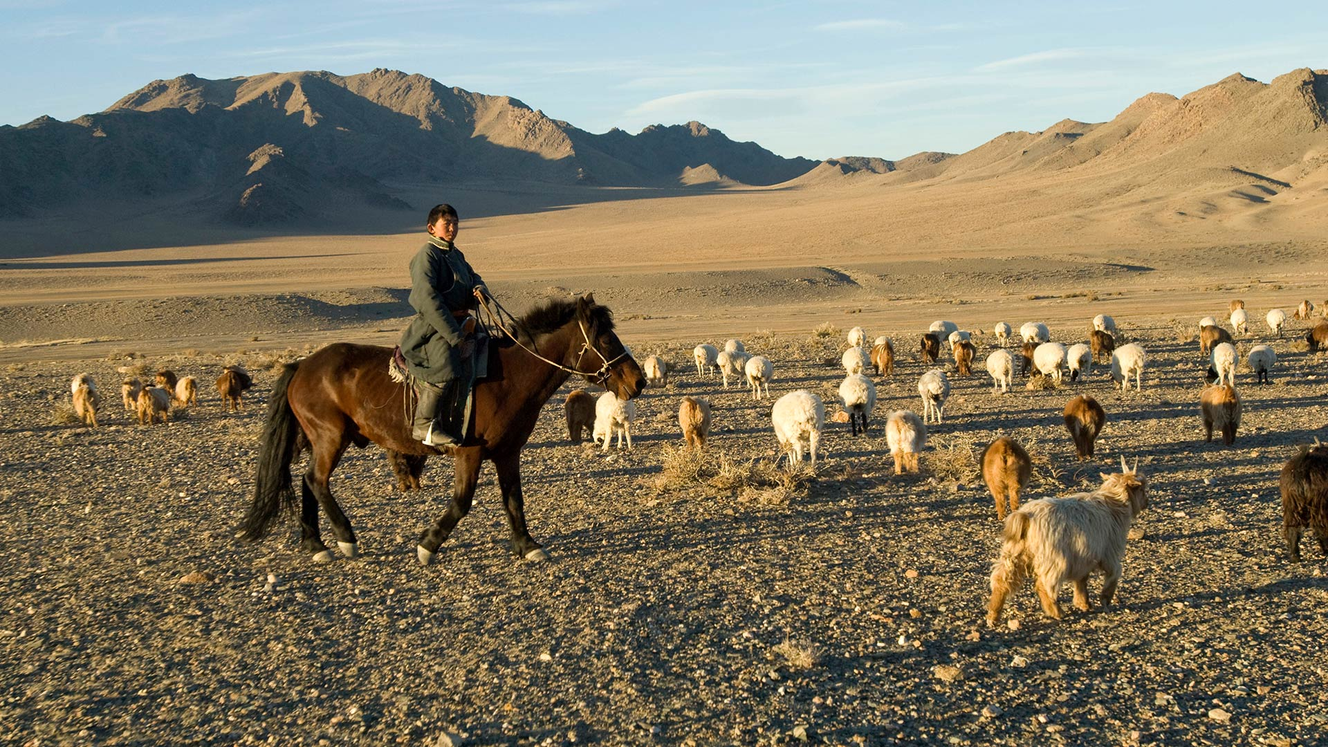 Nomad boy herding cattle in Mongolia