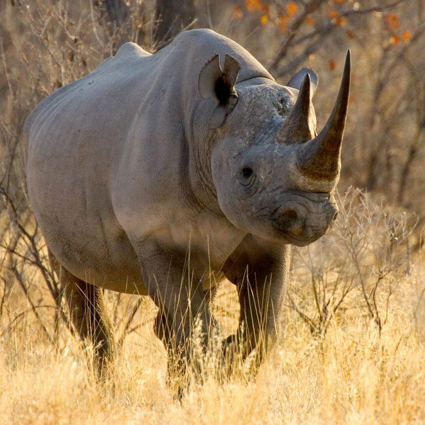 Black rhinoceros in Etosha National Park, Namibia