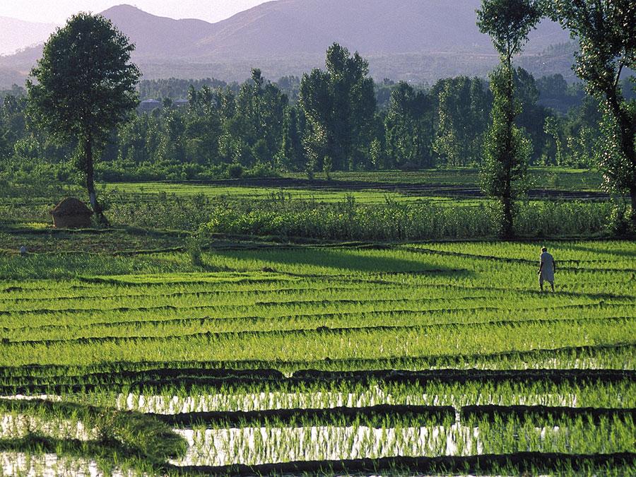 Rice fields in the Swat Valley, Pakistan