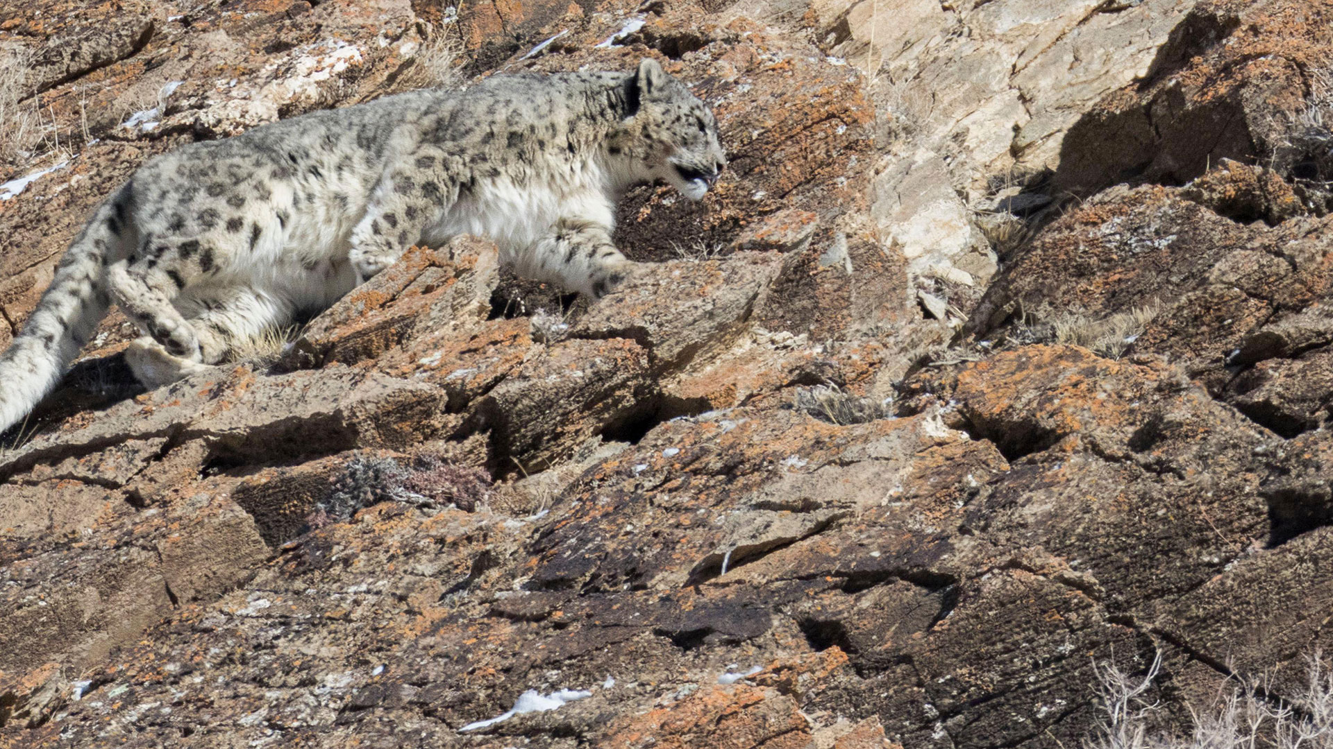 Snow leopard on rock in the Altai Mountains, Mongolia