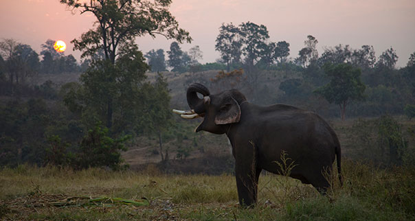 Elephant at dawn in Chiang Mai, Thailand