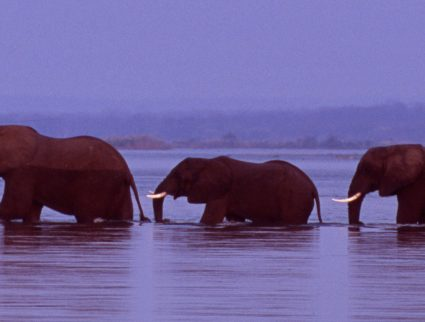 Herd of elephants cross the Zambezi River in line, Zimbabwe