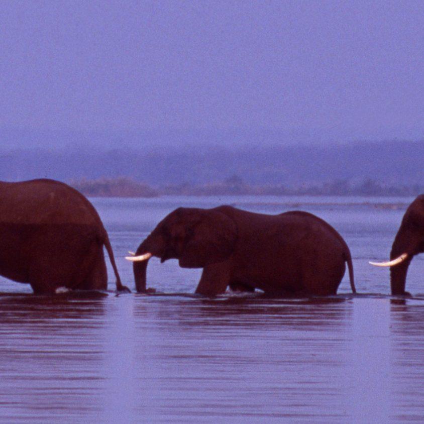 Herd of elephants cross the Zambezi River in line, Zimbabwe