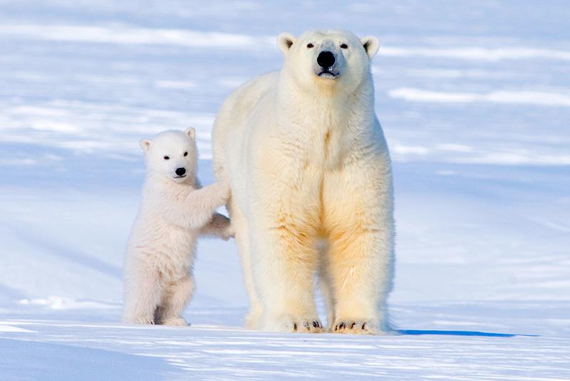 A polar bear with her cub in the Arctic National Wildlife Refuge, Alaska