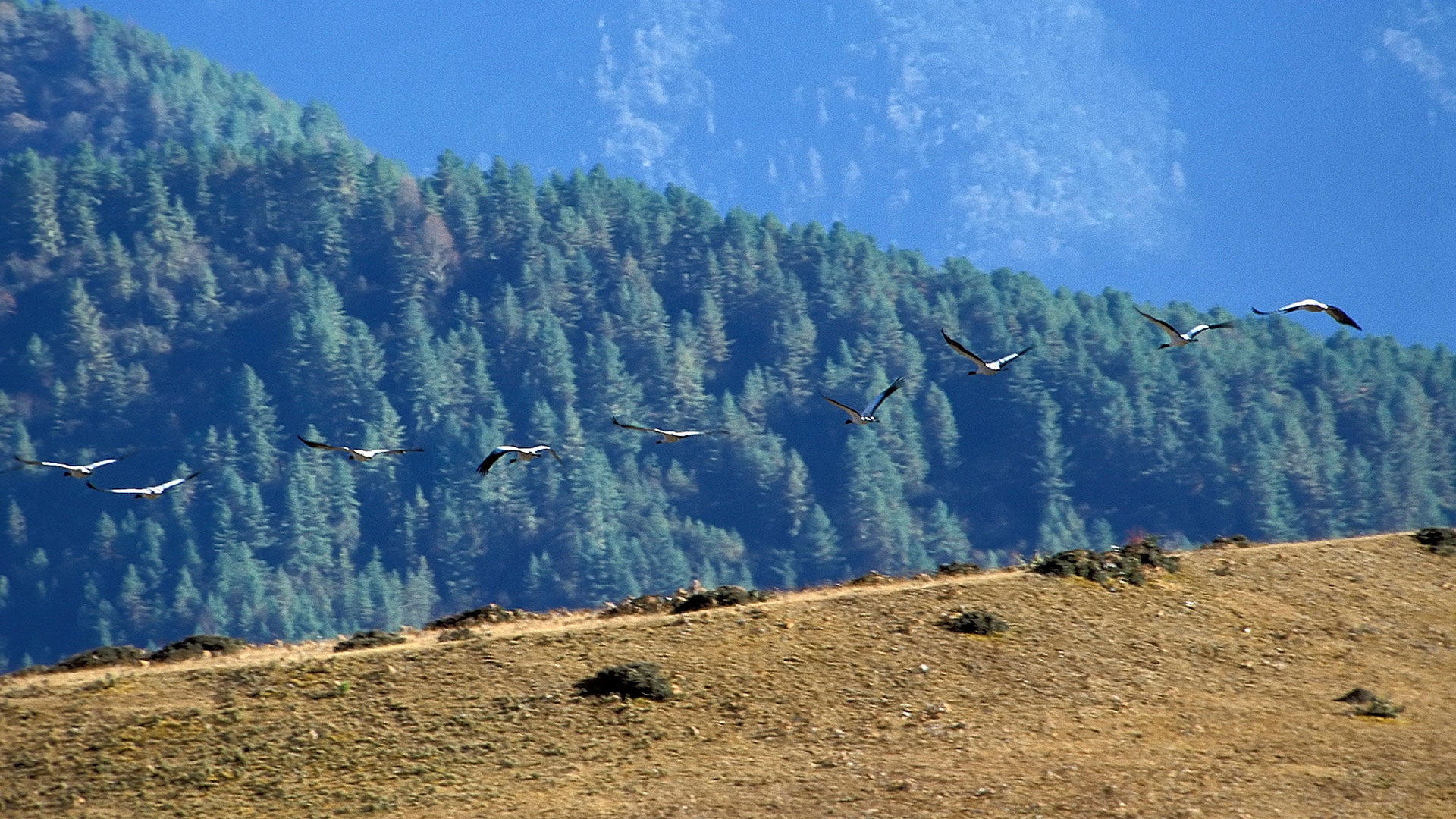 Black-necked cranes flying in the Phobjikha Valley, Bhutan