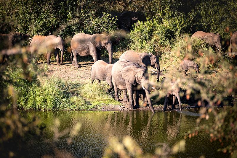 Elephants in northern Kruger National Park, South Africa