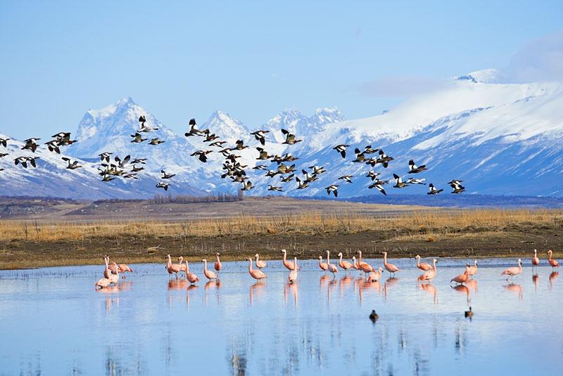 Pink flamingos and geese on Lago Argentino, El Calafate, Patagonia