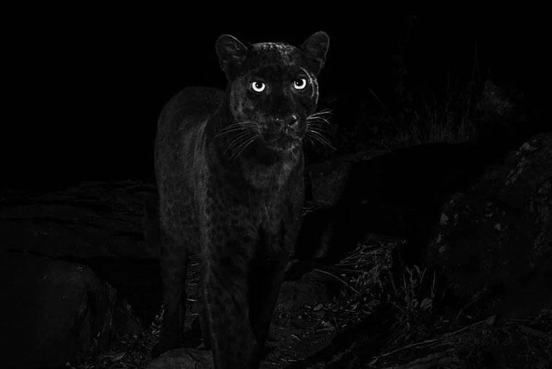 Rare black leopard captured at Laikipia Wilderness Camp