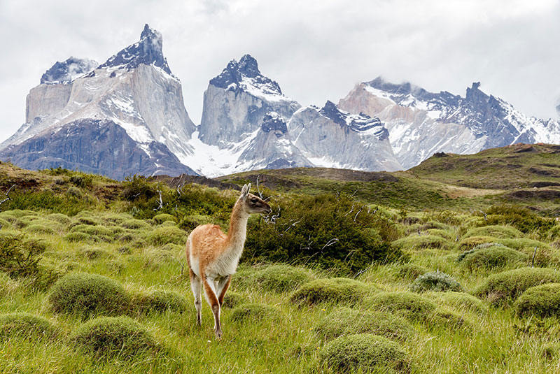 A guanaco stands amidst the grass with mountains in the background in Patagonia's Torres del Paine National Park.
