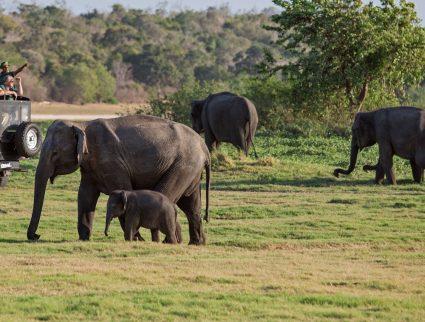 Spotting elephants in Minneriya National Park, Sri Lanka