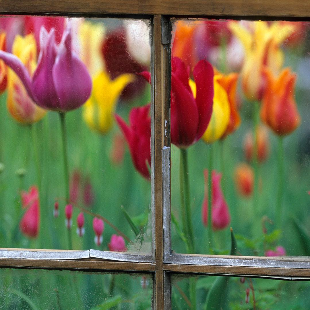 Spring garden behind old window.