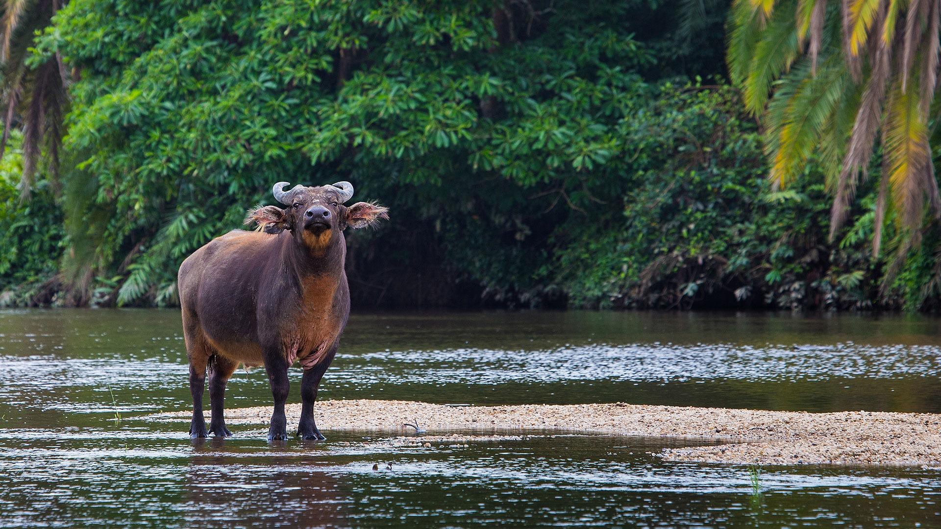 Forest buffalo in the bai, Odzala-Kokoua National Park, Congo