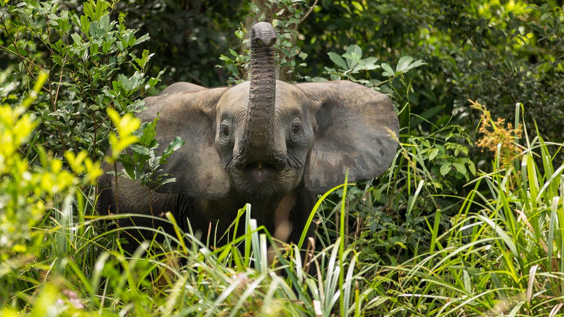 Forest elephant calf, Odzala-Kokoua National Park, Congo
