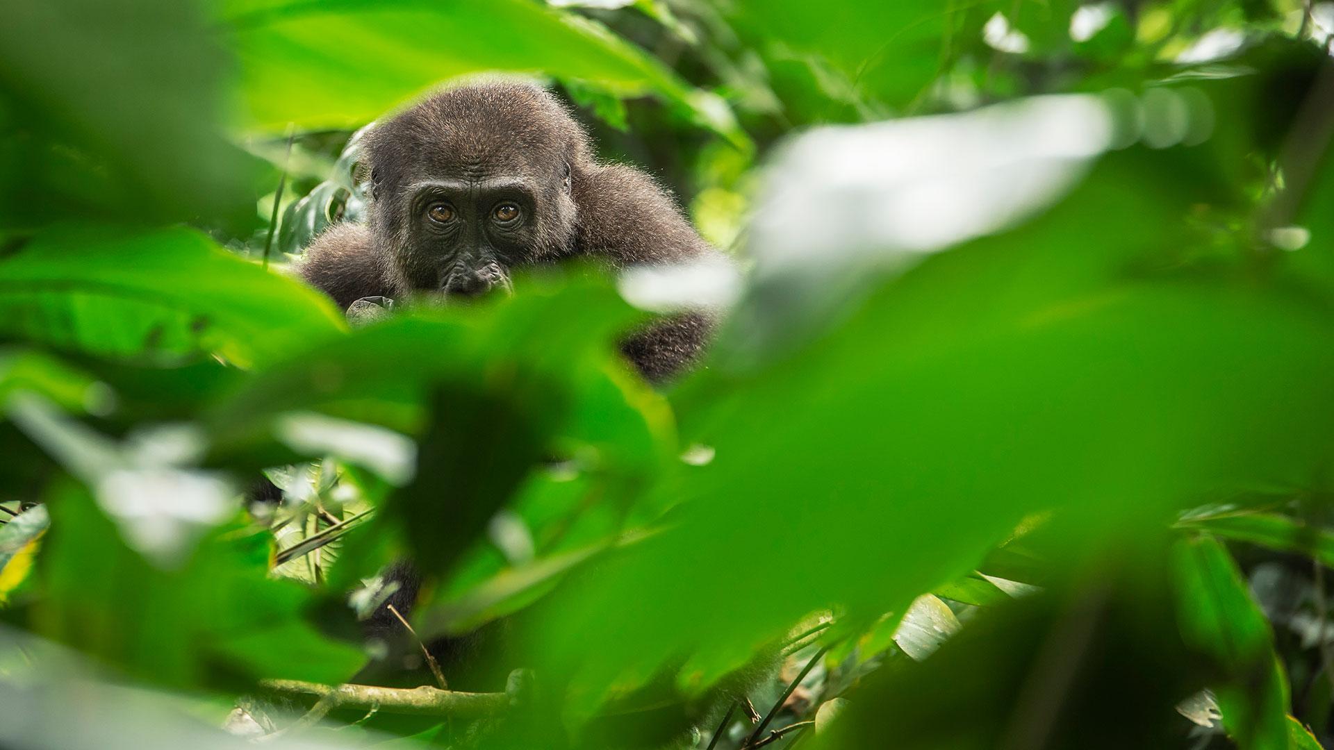 Western lowland gorilla peers through marantaceae foliage in Odzala Kokoua National Park, Congo