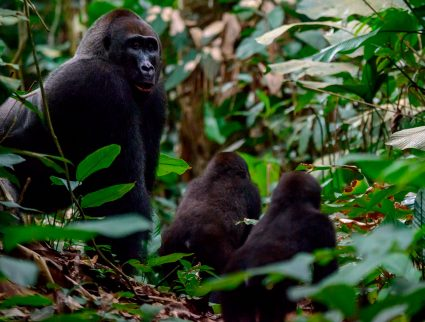 Western lowland gorilla silverback and juveniles in Odzala-Kokoua National Park, Republic of the Congo