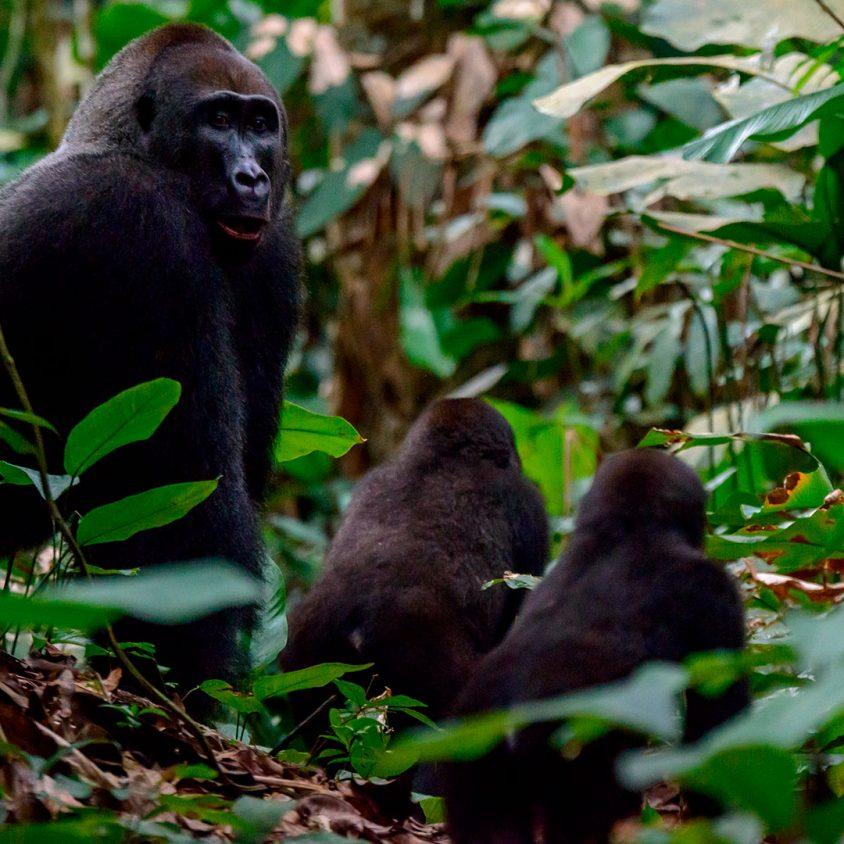 Western lowland gorilla silverback and juveniles in Odzala-Kokoua National Park, Republic of the Congo