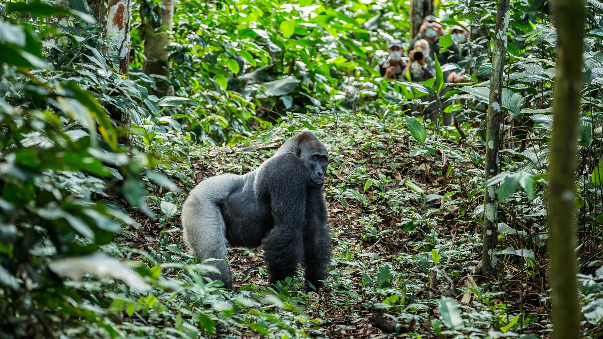 Western lowland gorilla silverback with group of trekkers in background