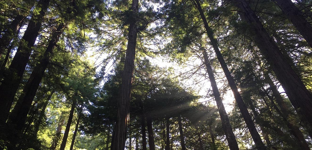 Grove of trees in Muir Woods, California