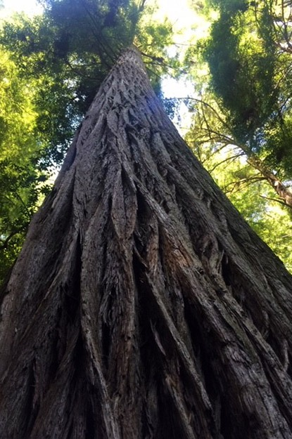A centuries-old redwood tree in Muir Woods, California
