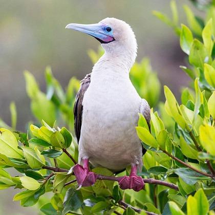 Red-footed boobie on Genovesa Island, Galapagos