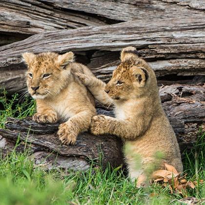 Young lion cubs playing in the Masai Mara, Kenya
