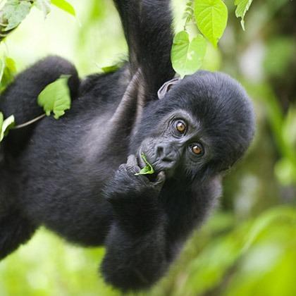 Baby mountain gorilla in Bwindi Impenetrable National Park, Uganda