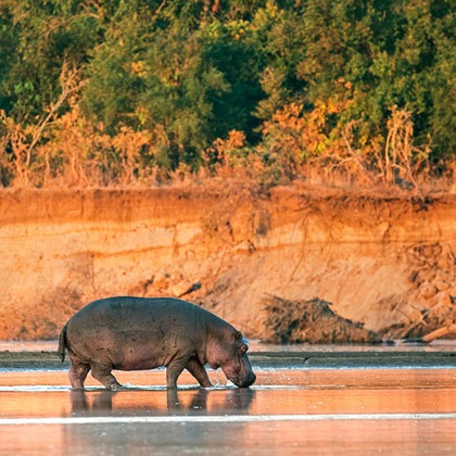 A hippo in the shallow waters of the Luangwa River at sunrise, Zambia